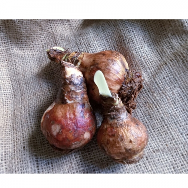 Amaryllis Flower Bulbs - Mix Colour