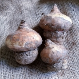 Haemanthus / Football Lily / May Flower Bulbs