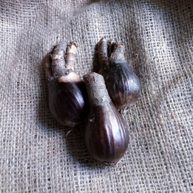 Lycoris Lily Yellow