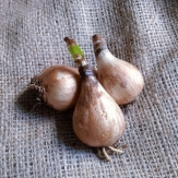 Nerine Lily Flower Bulbs - Red