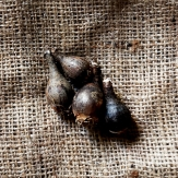 Zephyranthus robusta Flower Bulbs - Purple