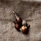 Zephyranthus sulphurea Flower Bulbs - Yellow
