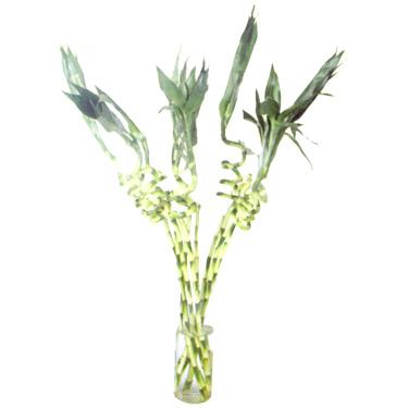 Good Luck Plants - Dancing Bamboo