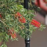 Callistemon lanceolatus (Bottle Brush Tree)