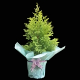 Cypress golden