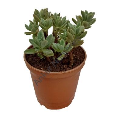 Succulent - Coleus coerulescens