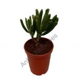 Succulent - Crassula gollum