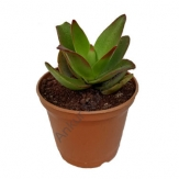 Succulent - Crassula schmidtii