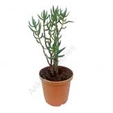 Succulent - Crassula Tetragona falcata