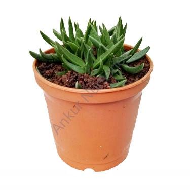 Succulent - Delosperma basuticum