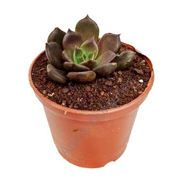 Succulent - Echeveria black prince