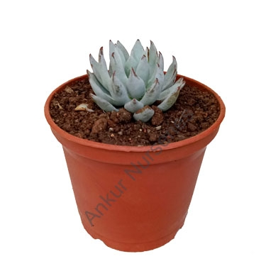 Succulent - Echeveria daldia