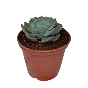 Succulent - Echeveria glauca