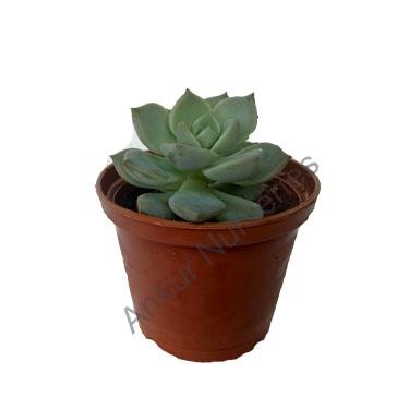 Succulent - Echeveria Spendor