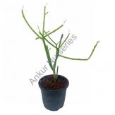 Succulent - Euphorbia tirucalli pencil cactus