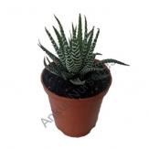 Succulent - Haworthia attenuata (Zebra Plant)