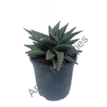 Succulent - Haworthia limifolia