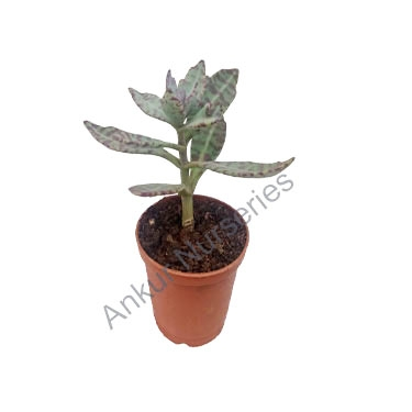 Succulent - Kalanchoe humilis