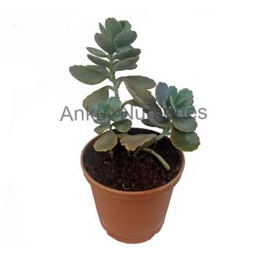 Succulent - Kalanchoe millotii