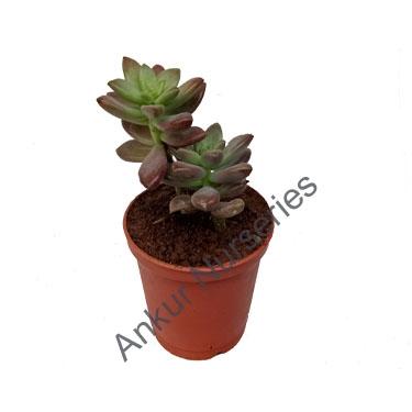 Succulent - Sedeveria pink