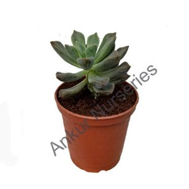 Succulent - Sedeveria blue