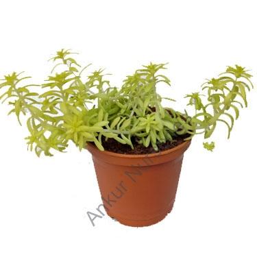 Succulent - Sedum golden hahni