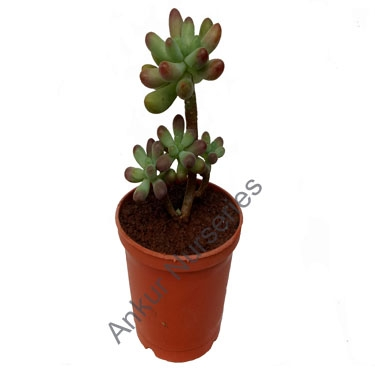 Succulent - Sedum pachyphyllum