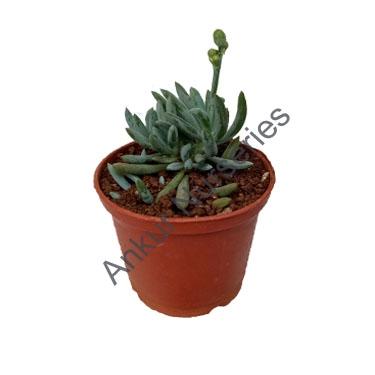 Succulent - Senecio blue