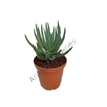 Succulent - Senecio mandraliscae