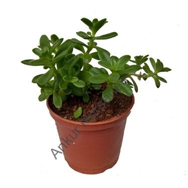 Succulent - Sedum confusum