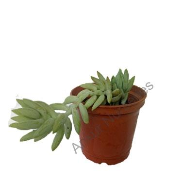 Succulent Sedum Morganianum