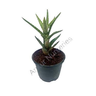 Succulent - Aloe juvenna squarrosa