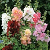Hollyhocks - Alcea (Althaea) rosea