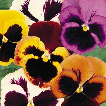 Pansy Viola Wittrokiana Flower Seeds Buy Online From Ankur Nursery Mumbai India