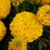 Tagetes erecta nana - African Marigold Yellow Seeds