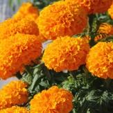 Tagetes erecta nana - African Marigold Orange Seeds