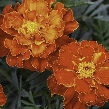 Tagetes patula nana - French Marigold