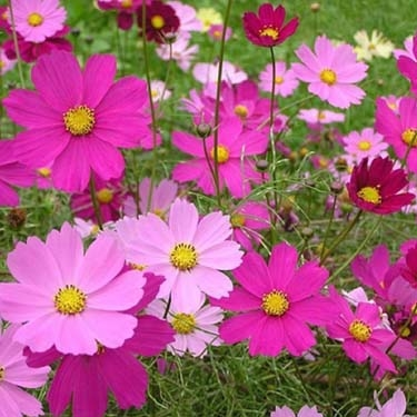Cosmos Dwarf Sensations Mixed