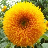 Sunflower - Helianthus teddybear