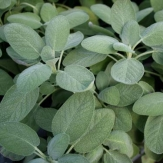 Sage Broad Leaved