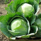Cabbage Golden Acre Seeds