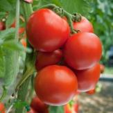 Tomato Round Seeds